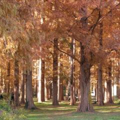 メタセコイアの森